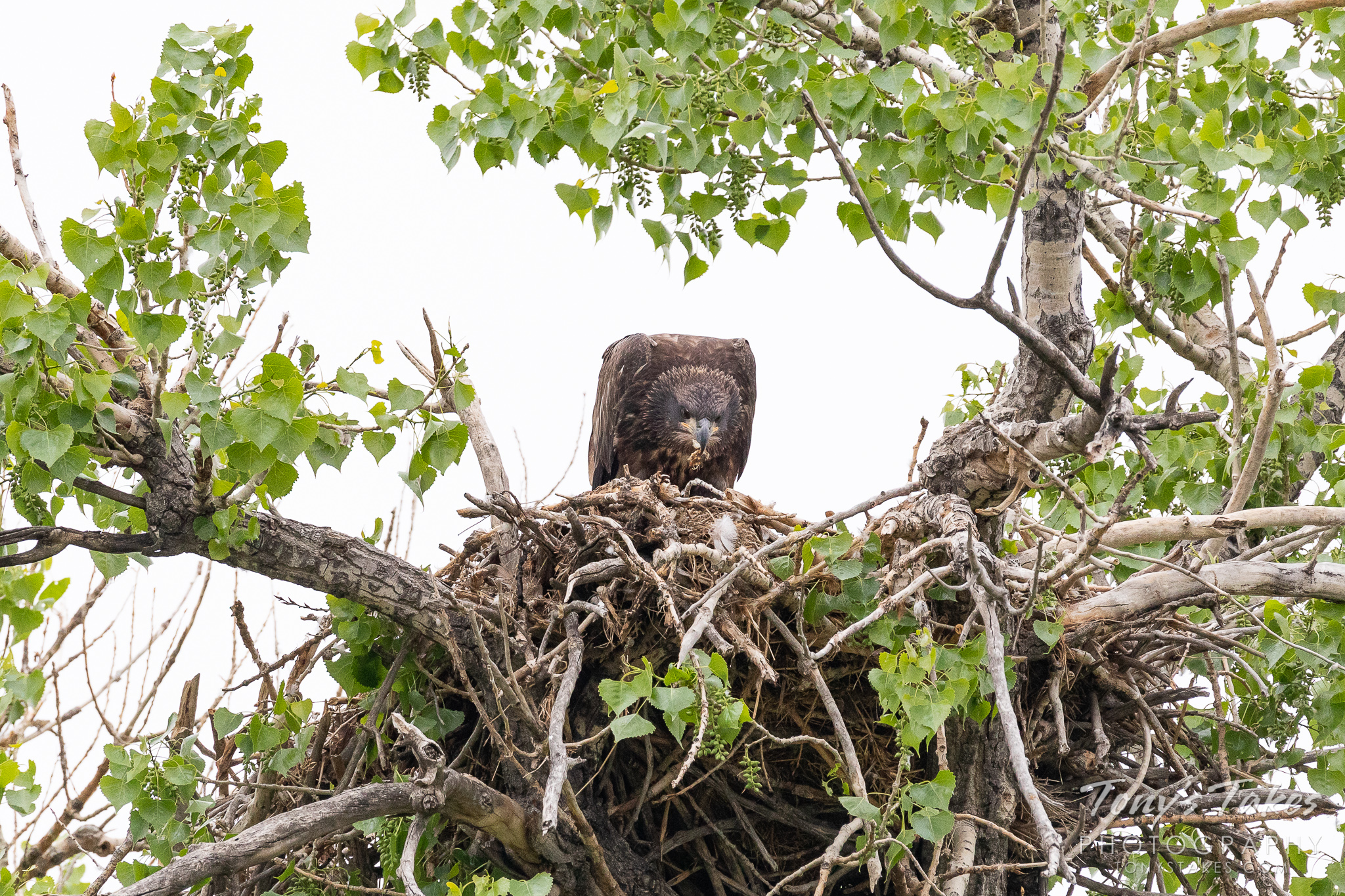 A juvenile bald eagle feeds itself at its nest. (© Tony's Takes)