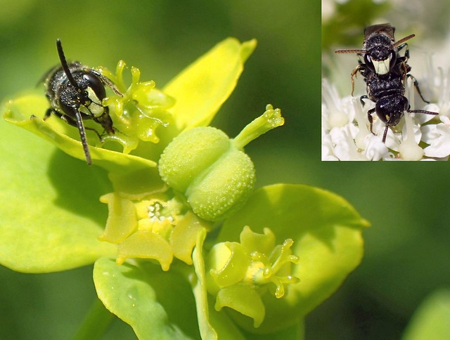 Masked. Hylaeus communis, Common Yellow Face Bee, on Green Spurge, Euphorbia esula, and Oenanthe crocata, Water Dropwort, Hortus Botanicus, Amsterdam, The Netherlands