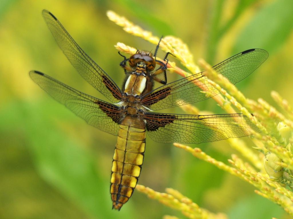 Libelle / Dragonfly / Libélula 2019