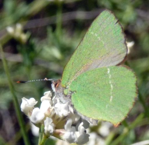 Callophrys avis 47965821208_c6847ac5f9_o