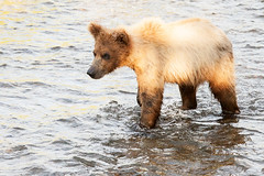 Young Brown Bear Entering the Water