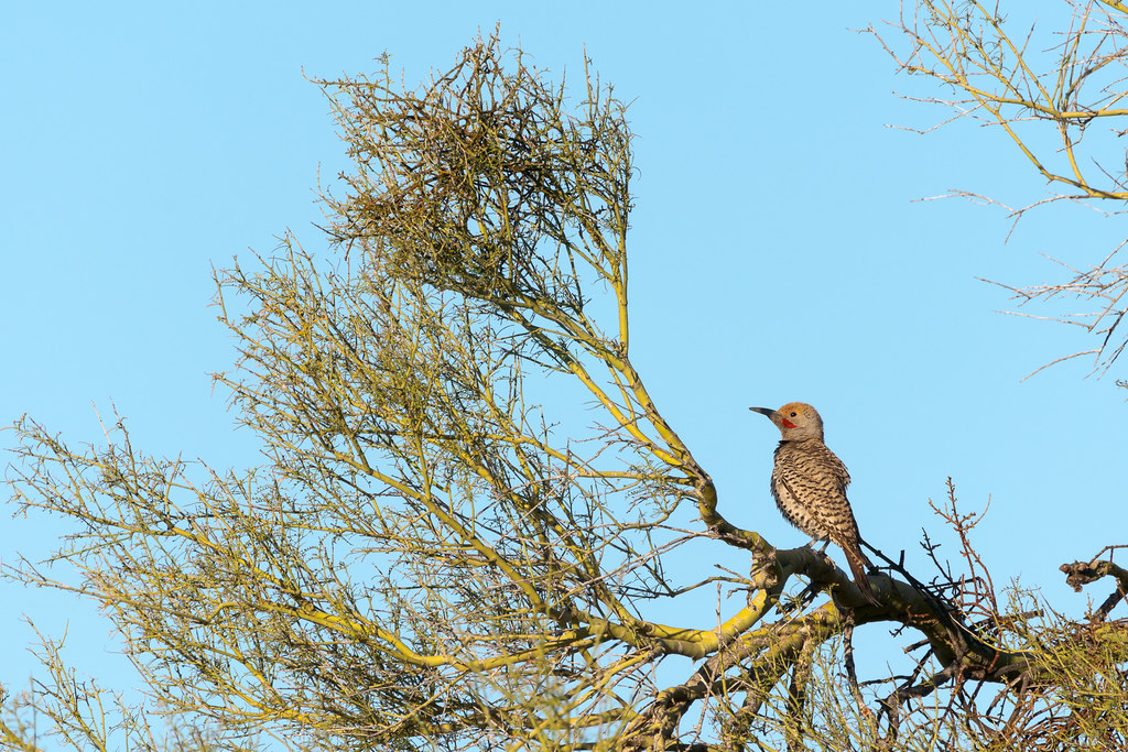 A male gilded flicker perches in a palo verde in April 2019 on the Vaquero Trail in McDowell Sonoran Preseve in Scottsdale, Arizona