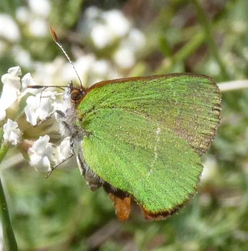 Callophrys avis 47965851871_c1f48c6d62_o