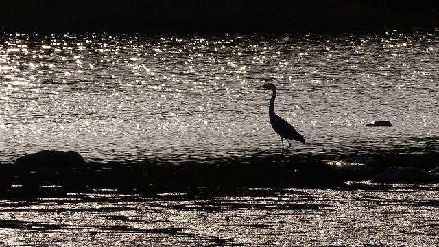 Grey heron - Ardea cinerea (Hanhinen, Rauma, 20190518)