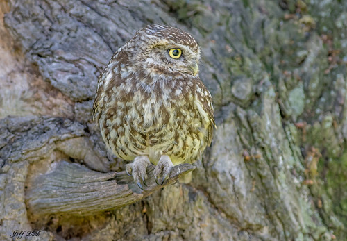 littleowl owl owls birds bird avian animal animals wildlife wildbirds wetlands woodlands wildlifephotography woodland jefflackphotography trees farmland forest forests forestry heathland hedgerows heathlands heaths moorland marshland meadows marshes moors countryside copse nature