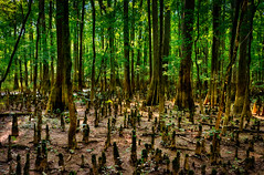 The Cypress knees