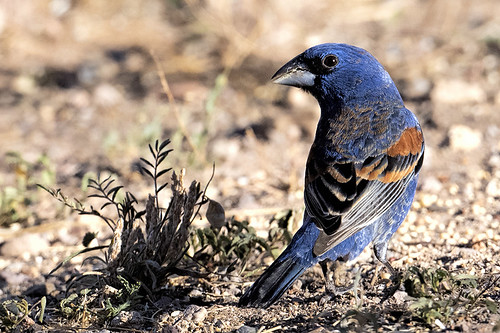 Casa de Conrad, Portal: Blue Grosbeak