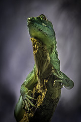 Green Crested Basilisk On Branch