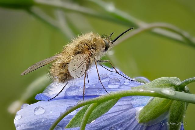 Kleiner durchnässter Wollschweber (Bombyliidae)  evtl. Kleiner Wollschweber (Bombylius minor)