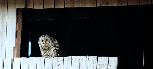 Strix uralensis Ural Owl _2019_05_27_0073