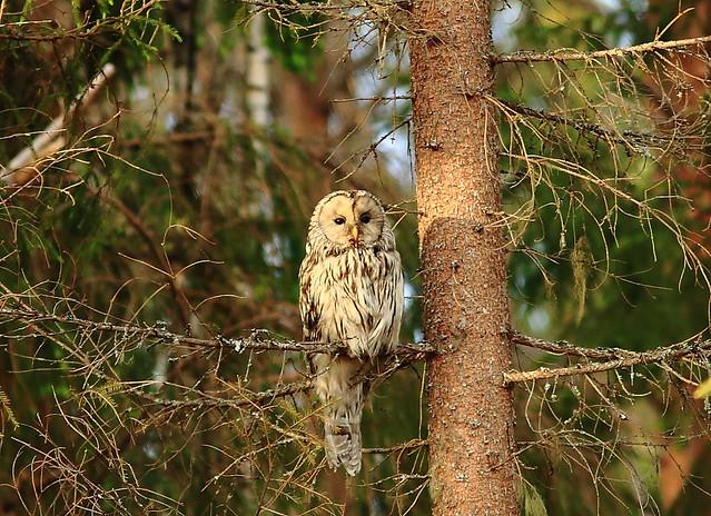 Strix uralensis Ural Owl _2019_05_27_0053