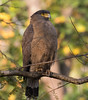 Crested Serpent Eagle by vischerferry