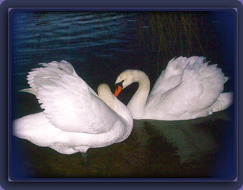 "vancouver ""britishcolumbia"" canada ""stanleypark"" ""lostlagoon"" ""cygnusolor"" ""muteswan swans waterfowl ""waterbirds"" nature avian ""swansoflostlagoon"" ""lostlagoonswans"" ""swansofstanleypark"" ""stanleyparkswans"" ""tristanandisolde"" mates pair devotion bonding behavior"