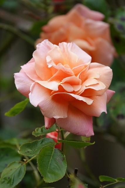 Climbing rose Schoolgirl