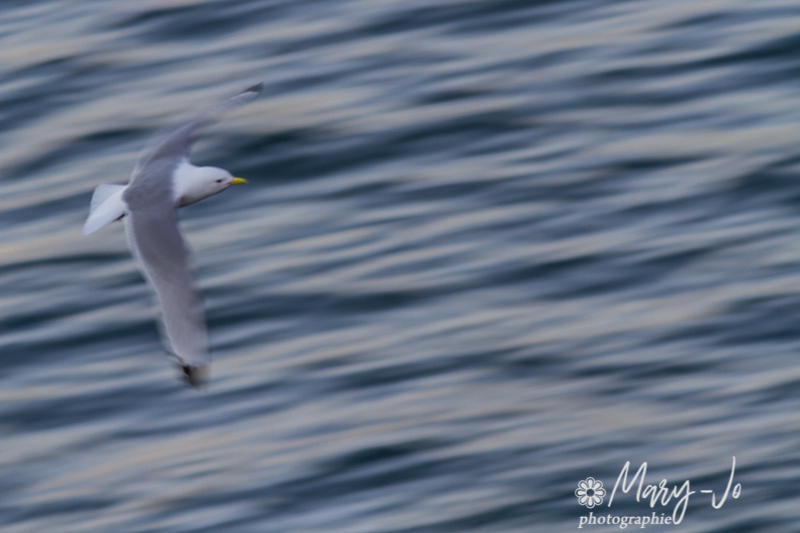 Le vol de la mouette...  The flight of the seagull ...