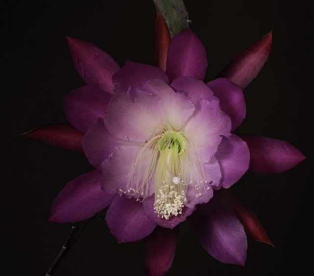 Clown Epiphyllum Hanging Out