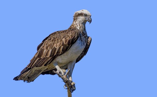 eastern osprey #1
