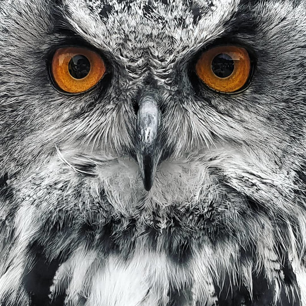 Intense stare of the eagle owl