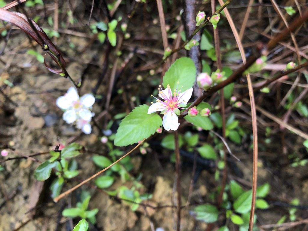 台灣維管束植物紅皮書受脅物種庭梅。攝影:廖靜蕙