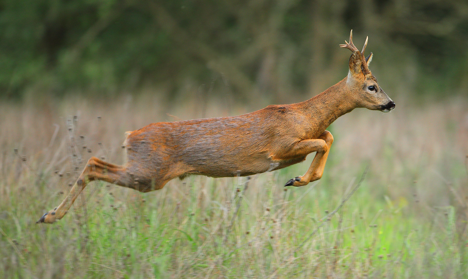 Leaping Roe Deer Buck