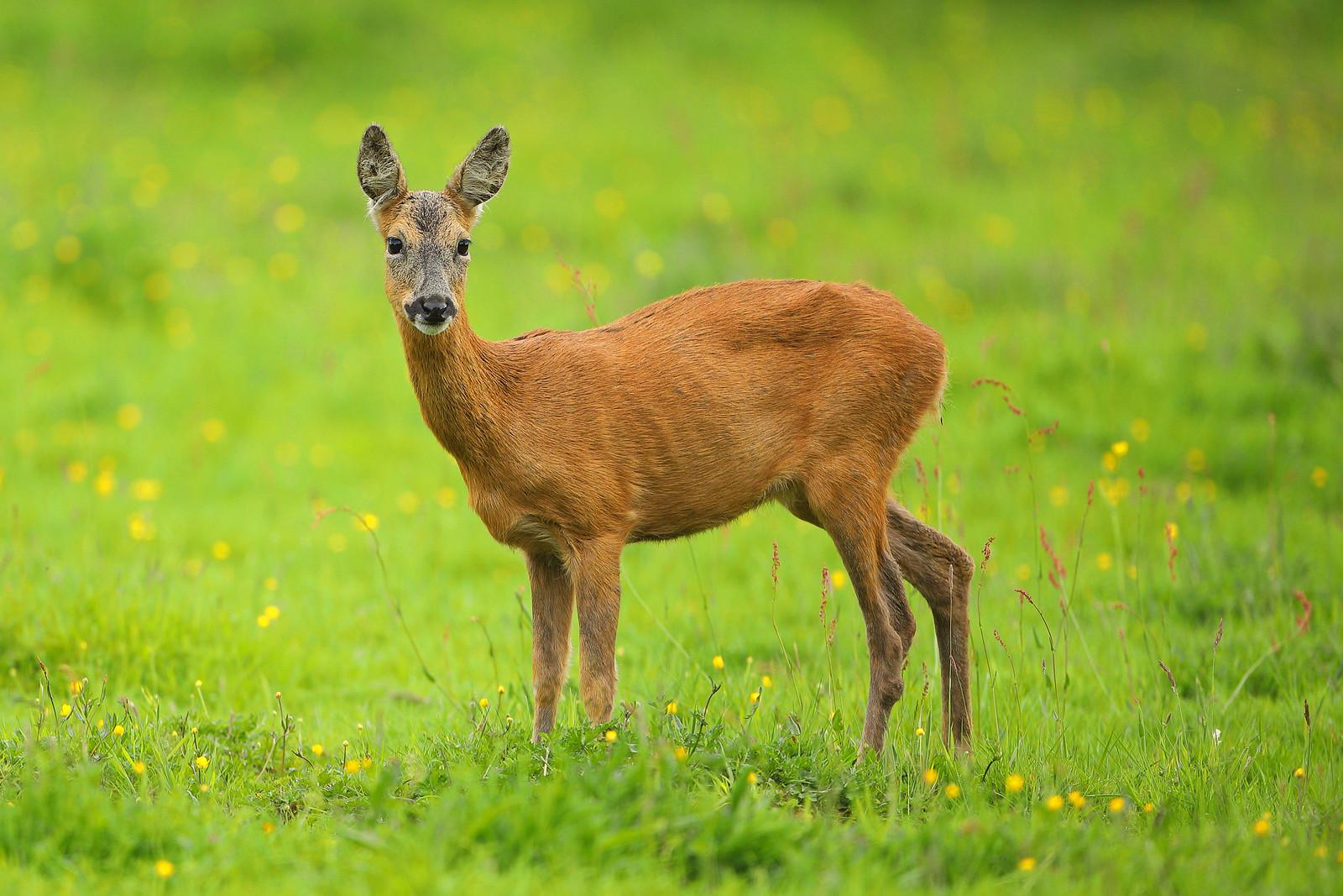 Non-pregnant Roe Deer