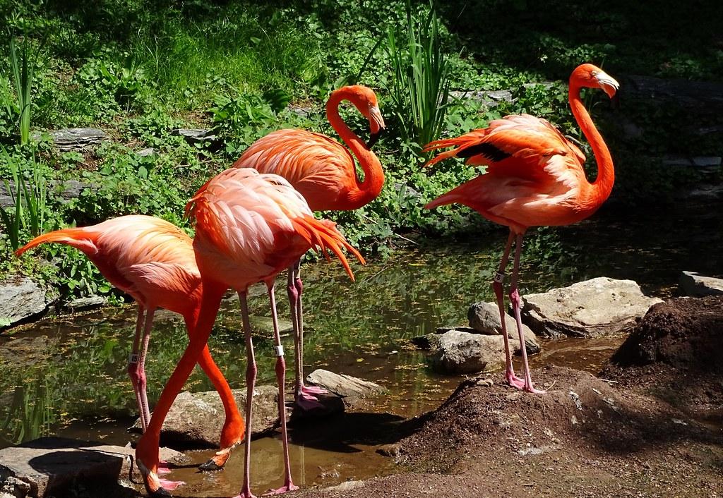 American flamingos