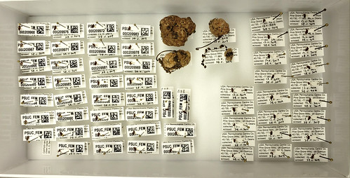 cardboard tray with plastozote bottom, filled with insect specimens and 4 galls