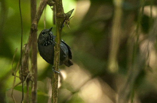 Rhopias gularis // Star-throated Antwren | by Giselle Mangini
