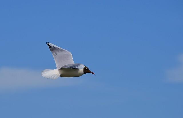 Koserow - Black-headed Gull