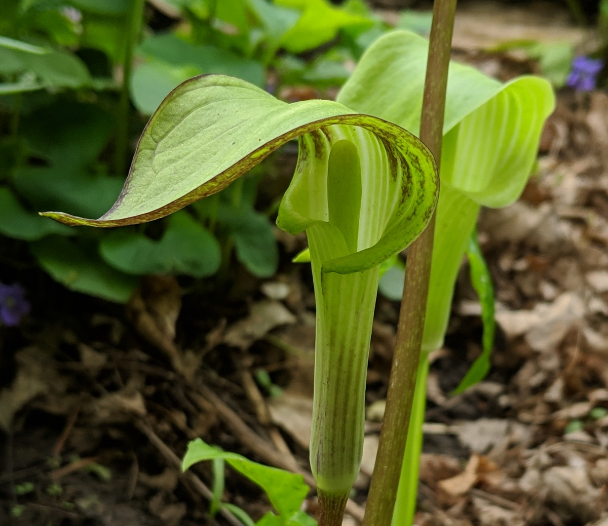 closeup of a green flower with its spathe swooshing out in front