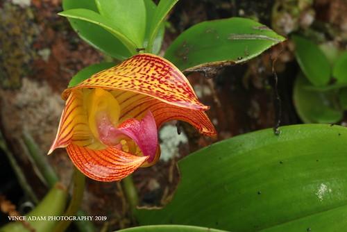 IMG_1946-1 A wet Orchid (Bulbophyllum claptonense), Rolfe, (1905).