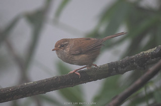 強腳樹鶯 Brownish-flanked Bush Warbler Cettia fortipes | by henrylee623