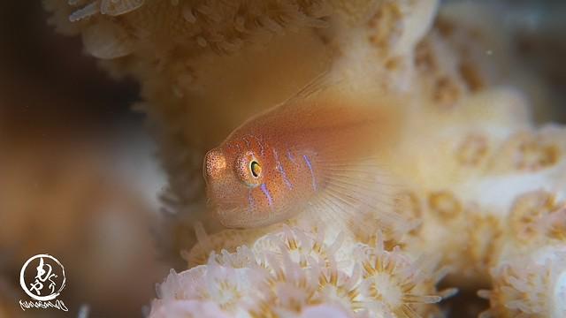 極小フタイロサンゴハゼ幼魚ちゃん♪