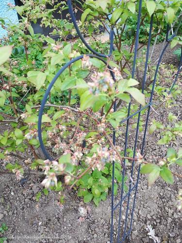 Heidelbeeren im Garten