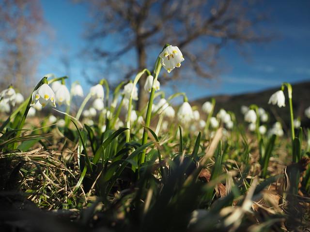 Spring Wild Flower Leucojum Vernum Forest Edge © Frühling Wildblume Schneeglöckchen Märzenbecher Waldrand ©