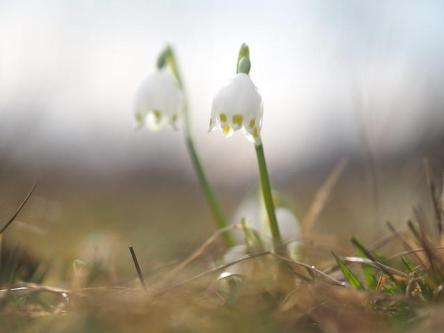 Spring Wild Flower Leucojum Vernum © Frühling Wildblume Schneeglöckchen Märzenbecher ©
