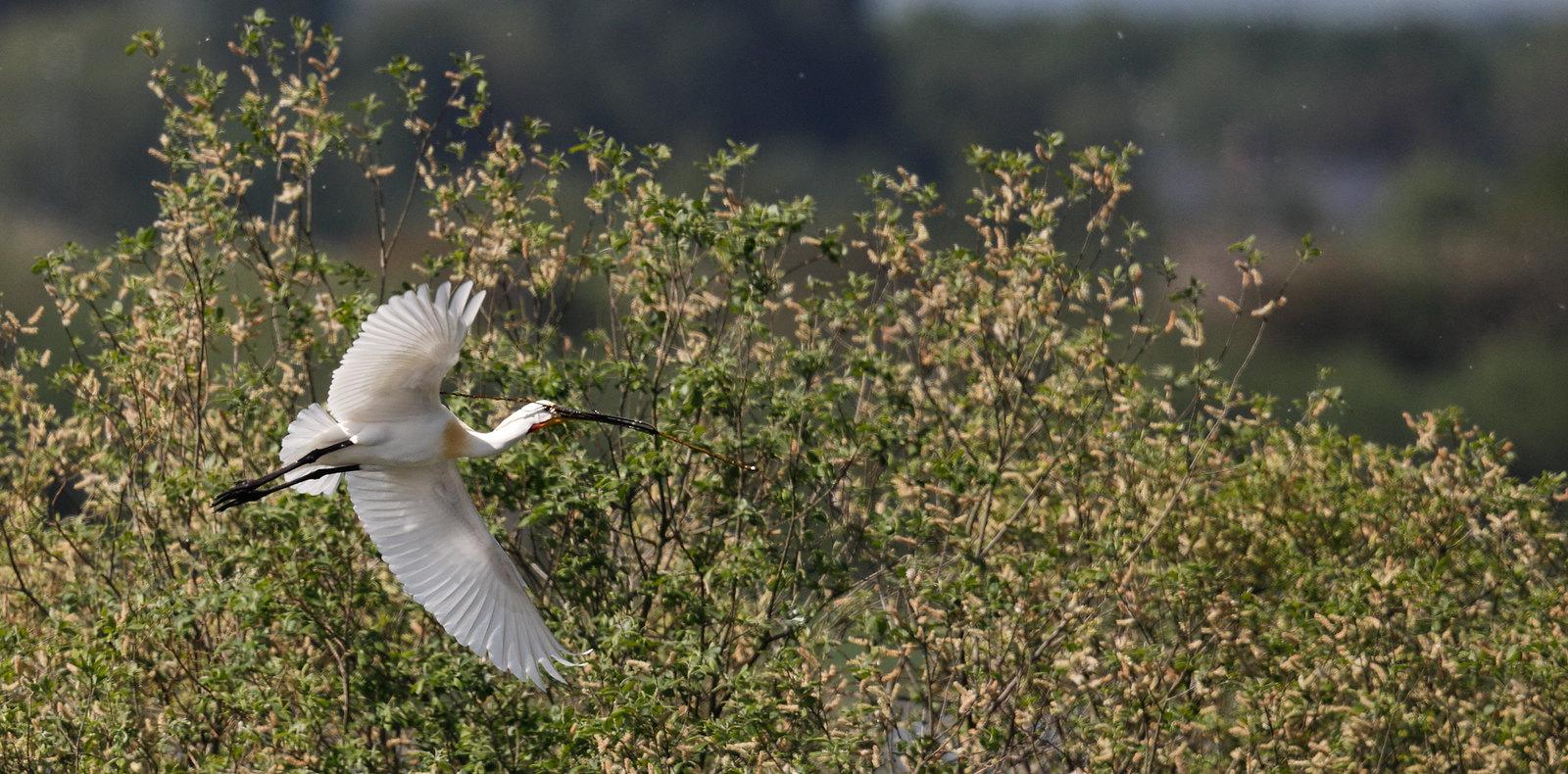 Distant Spoonbill - nest building