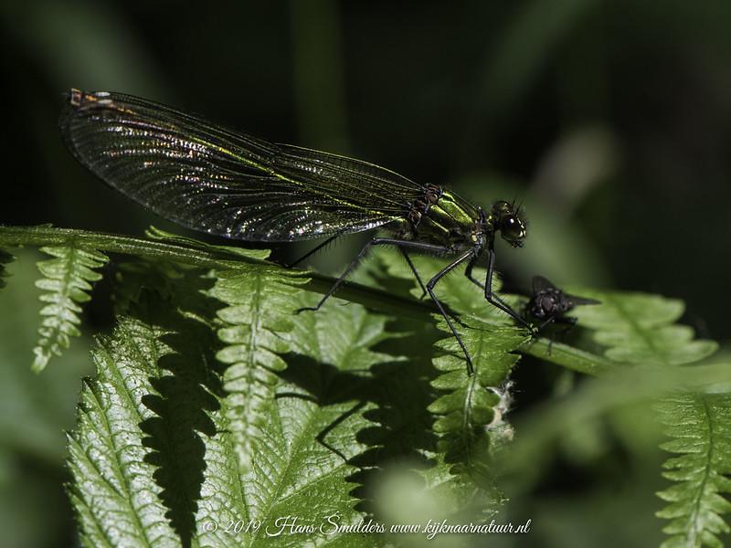 Weidebeekjuffer (Calopteryx splendens)-819_2120