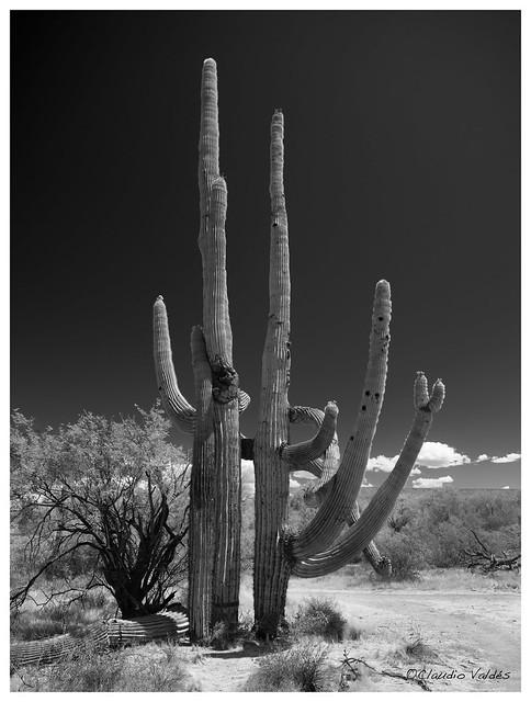 Saguaro Cactus (no.2)
