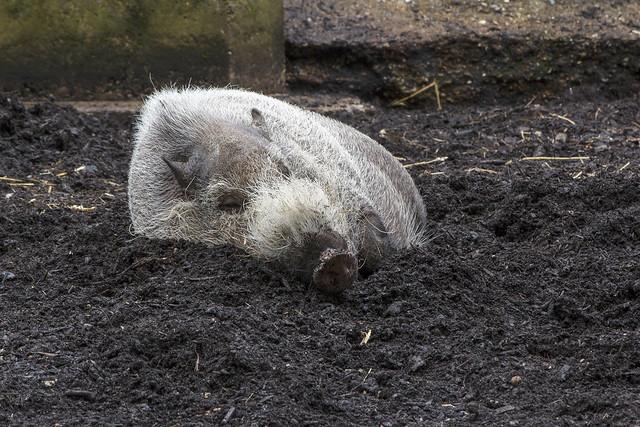 Bearded pig, London Zoo, Regent's Park, Camden, London NW1, UK
