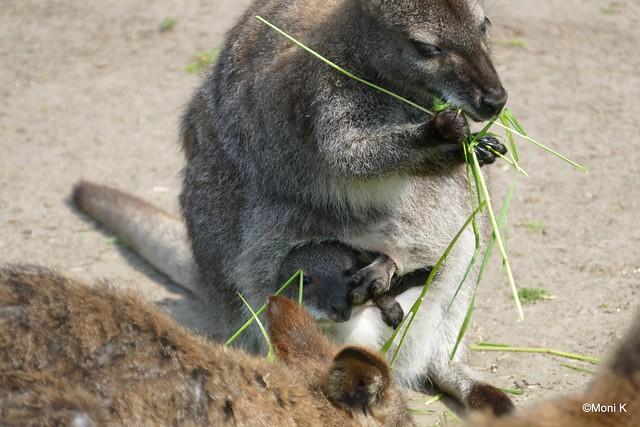 31-Parma-Känguru
