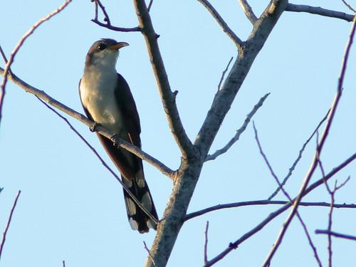 Yellow-billed Cuckoo 01-20190531