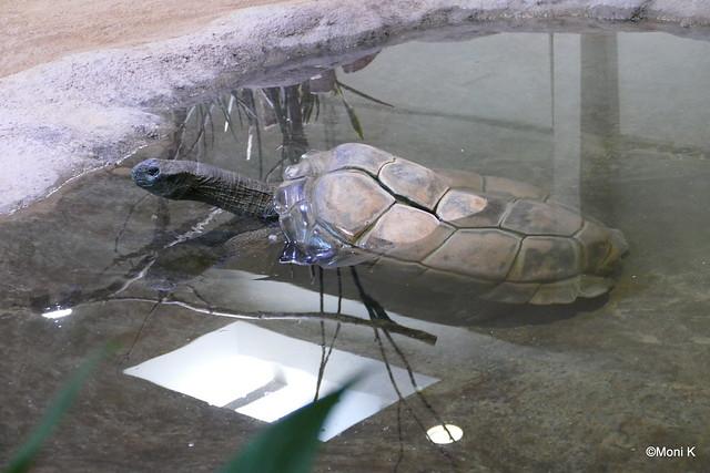 07-Seychellenschildkröten Flunder