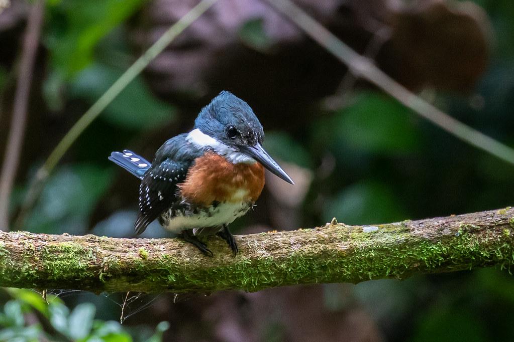 Male Green Kingfisher (Chloroceryle americana)