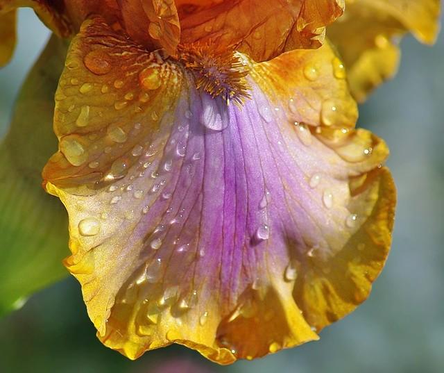Iris closeup 2019 -1-