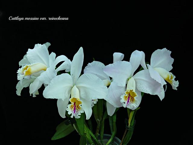 Cattleya mossiae var. reineckeana 'Bodenseeperle' #2