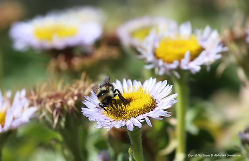 """sanfrancisco"" california bee 17miledrive flower macro bokeh 70200 canon sunny pacific ocean eos6d bay beach nature light sun yellow green wildflower day montereycounty"
