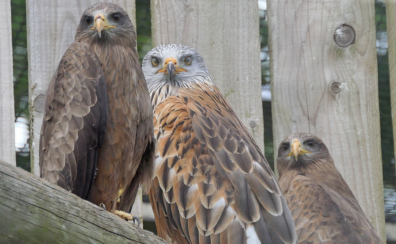 Red Kite & Yellow-billed Kites photographed through enclosure  netting, Cotswold Falconry Centre