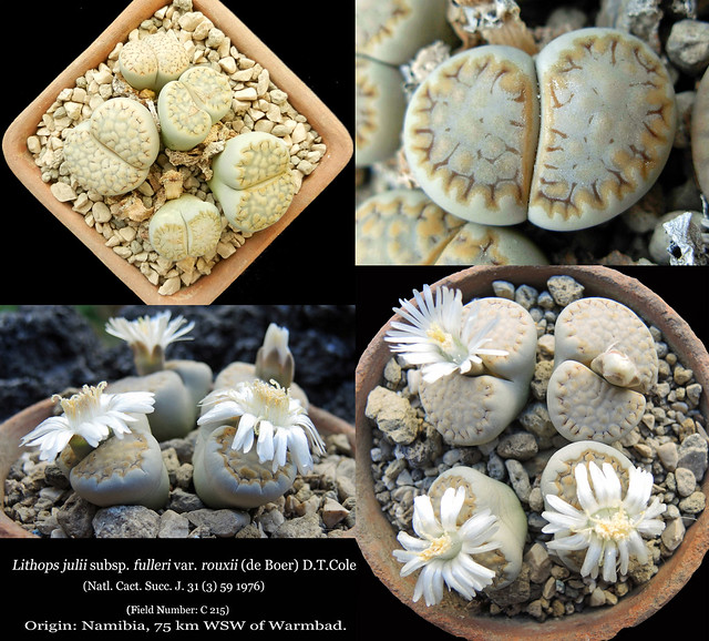 Lithops julii subsp. fulleri var. rouxii C 215 (collage)