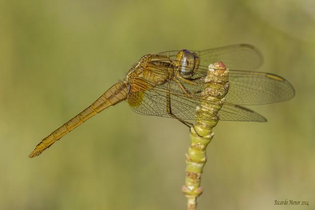 Crocothemis erythraea. Young male
